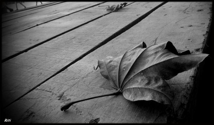 Chinar leaf Darjeeling