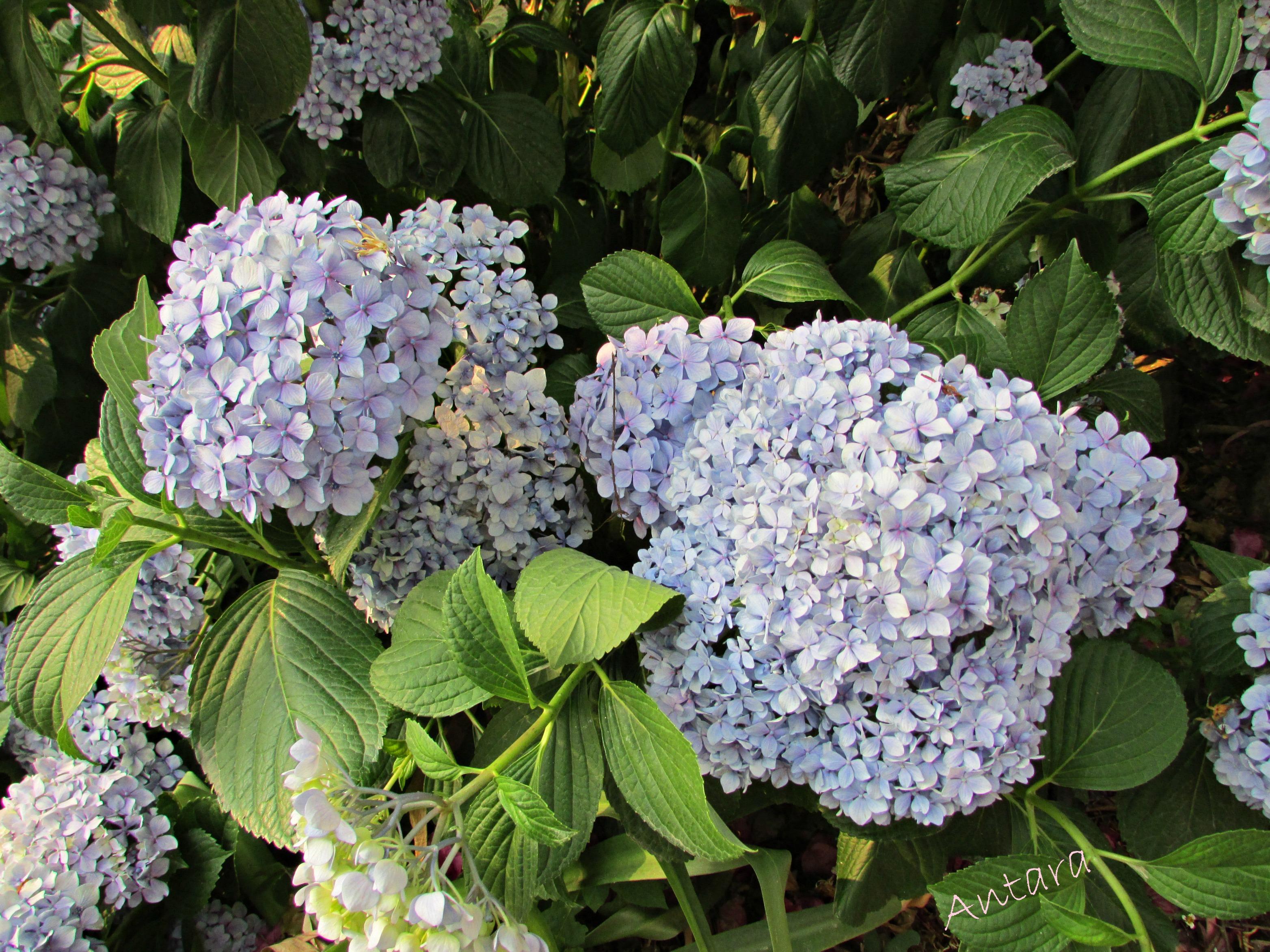 Hydringia flowers