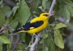 Golden orioles, love to fly and rest in the mango groves but they never eat the fruit.