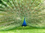 The strange peacock became the center of attraction in the forest.
