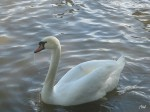 Swans in Canada