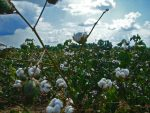 Journey of a Cotton Plant