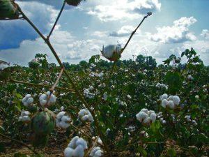 Journey of a Cotton Plant