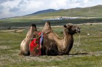 Camels are so bumpy their backs are all lumpy