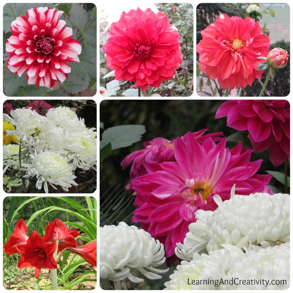 Chrysanthemums The Flower of Spring