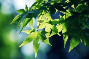 Tender Leaves