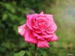 God's Love is Rose